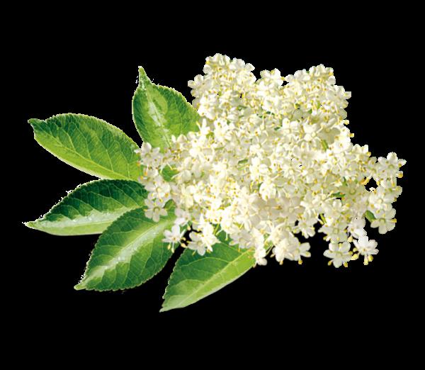 Holunderblüte Aroma